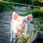 WebGrisen - Danmarks gladeste gris. Findes kun hos webgrisen.dk